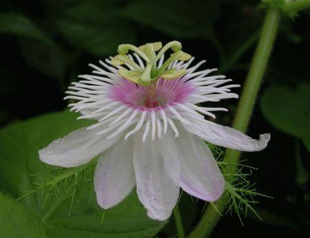 779px-passiflora_vitifolia.jpg