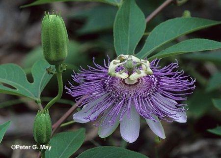 passiflora-1.jpg